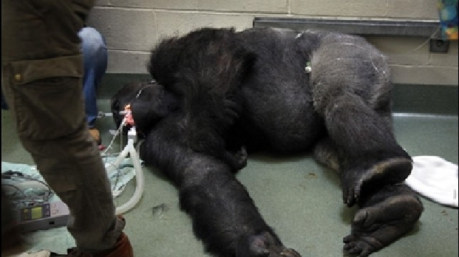 Gorilla Treated For Valley Fever At La Zoo Kbak